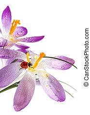 Ladybird on flower crocus with dew