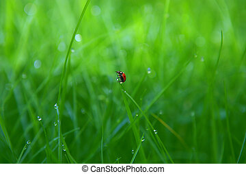 ladybird on green grass with drop of dew background