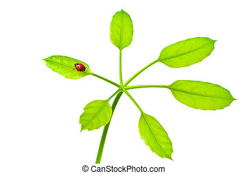 Ladybird on green isolated leaf