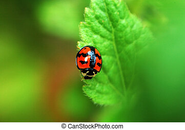 Ladybird on leaf