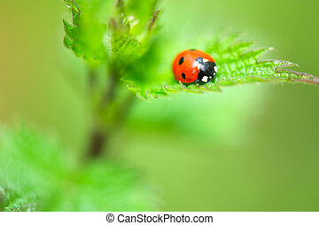 Ladybird in red and black on nettle