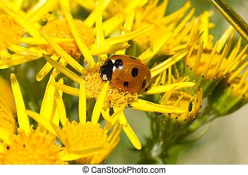 Ladybird on ragwort. - A ladybird, Coccinella...