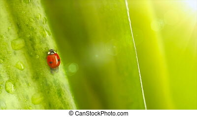 Ladybird on the flowers leaves