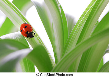 Ladybird on the green shoots - Images of ladybird sitting on...