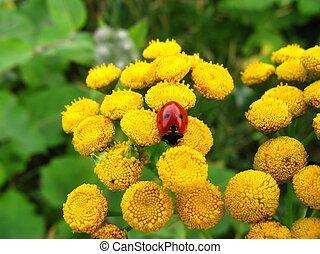 Ladybird on yellow flowers