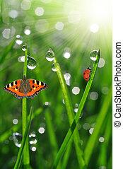 ladybird, orvalho