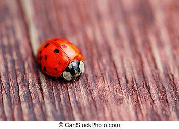 ladybird, på, brun, træ, makro