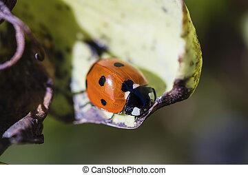 Ladybird resting on a leaf