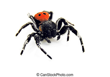 Ladybird Spider - creeping toward you! - An isolated image...