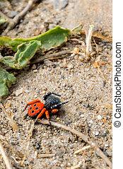 Ladybird spider or Eresus kollari close.