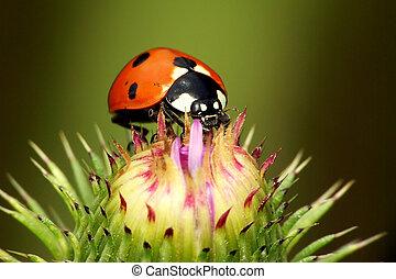 ladybird on thistle