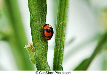 Ladybird walking on