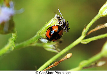 Ladybird with eupato