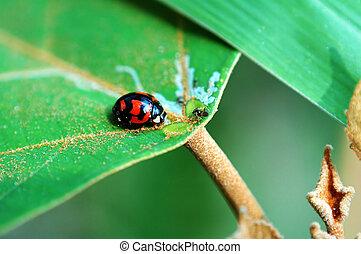 Ladybird with lea