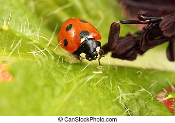 ladybird/ladybug