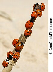 Ladybirds - Beetles on a branch