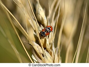 Ladybirds on ears of wheat, macro, insects