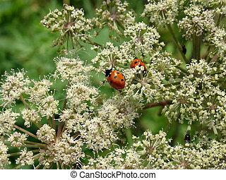 Ladybirds on the flowers
