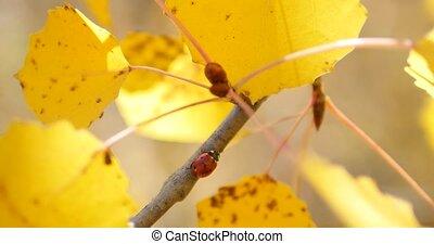 Ladybug at the yellow autumn leaf