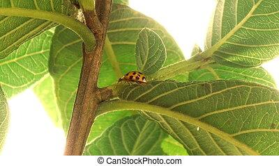 Ladybug Below Leaf