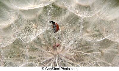 Ladybug between dandelion seeds