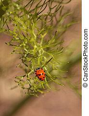Ladybug Coccinella septempunctata - Red and black ladybug...