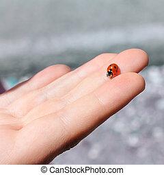 ladybug, em, mão
