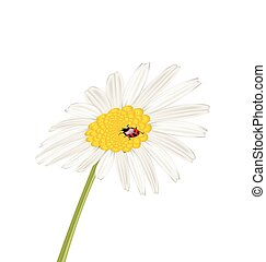 ladybug, flor, isolado, camomile, closeup, fundo, branca