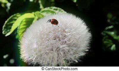 Ladybug fly away from dandelion