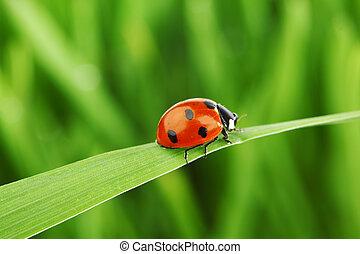 ladybug, græs