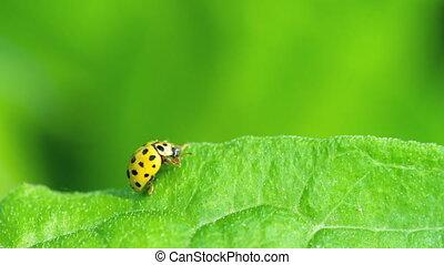 Ladybug in the grass - Yellow Ladybug on the strawberry leaf