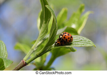 Ladybug in the spring - Ladybug in spring on a branch
