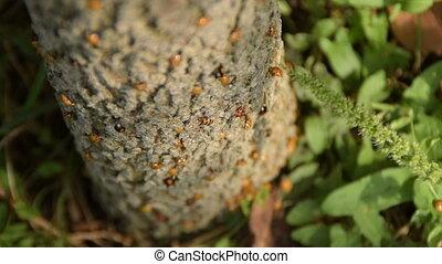 Ladybug invasion on tree