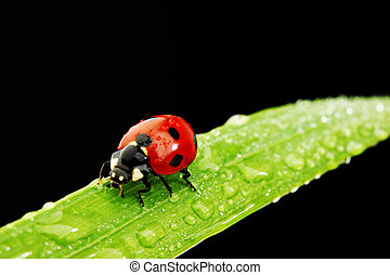 ladybug isolated on black - ladybug on grass isolated black...