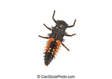 Ladybug larva (Coccinella) on a white background - Ladybug...