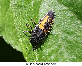 Ladybug Larva - Harmonia axyridis