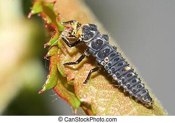 Macro photo of ladybug larvae eating aphid. Action take place on roses leaf.