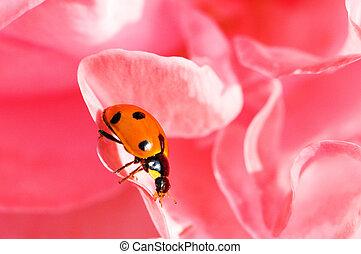 ladybug, ligado, a, rosa vermelha, pétalas