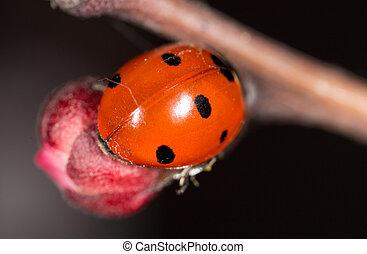 ladybug on a flower. macro