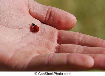 Ladybug on a hand - Ladybug ( coccinella ) on a hand...