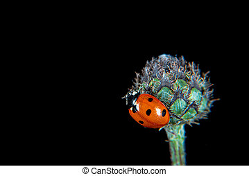 Ladybug on a plant with plant lice
