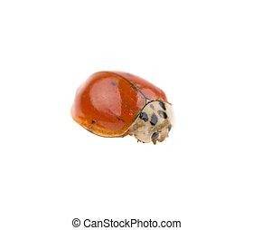 ladybug on a white background, isolated