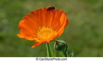 ladybug on calendula marigold herb