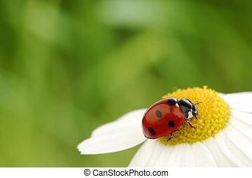 ladybug on camomile green grass background