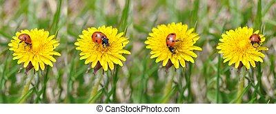 Ladybug on Dandelion Flower.
