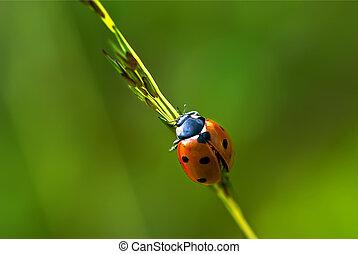 Ladybug on Grass - 7 spot Ladybug crawling on grass stem