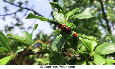 Ladybug on green branch in mating season