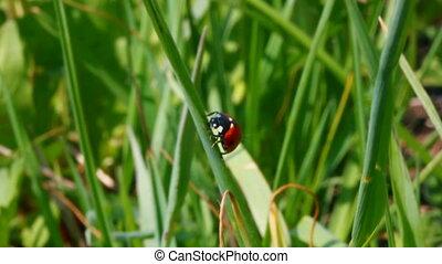 ladybug on green grass macro