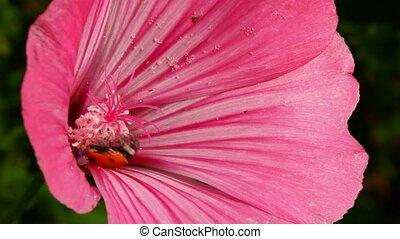 ladybug on pink flower macro
