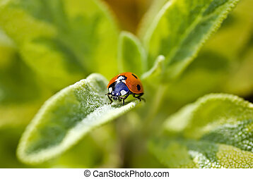 Ladybug on sage 7 spot - Close up of 7 spot Ladybug on...